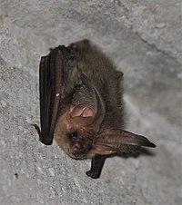 Plecotus auritus 2013-2 (cropped).jpg