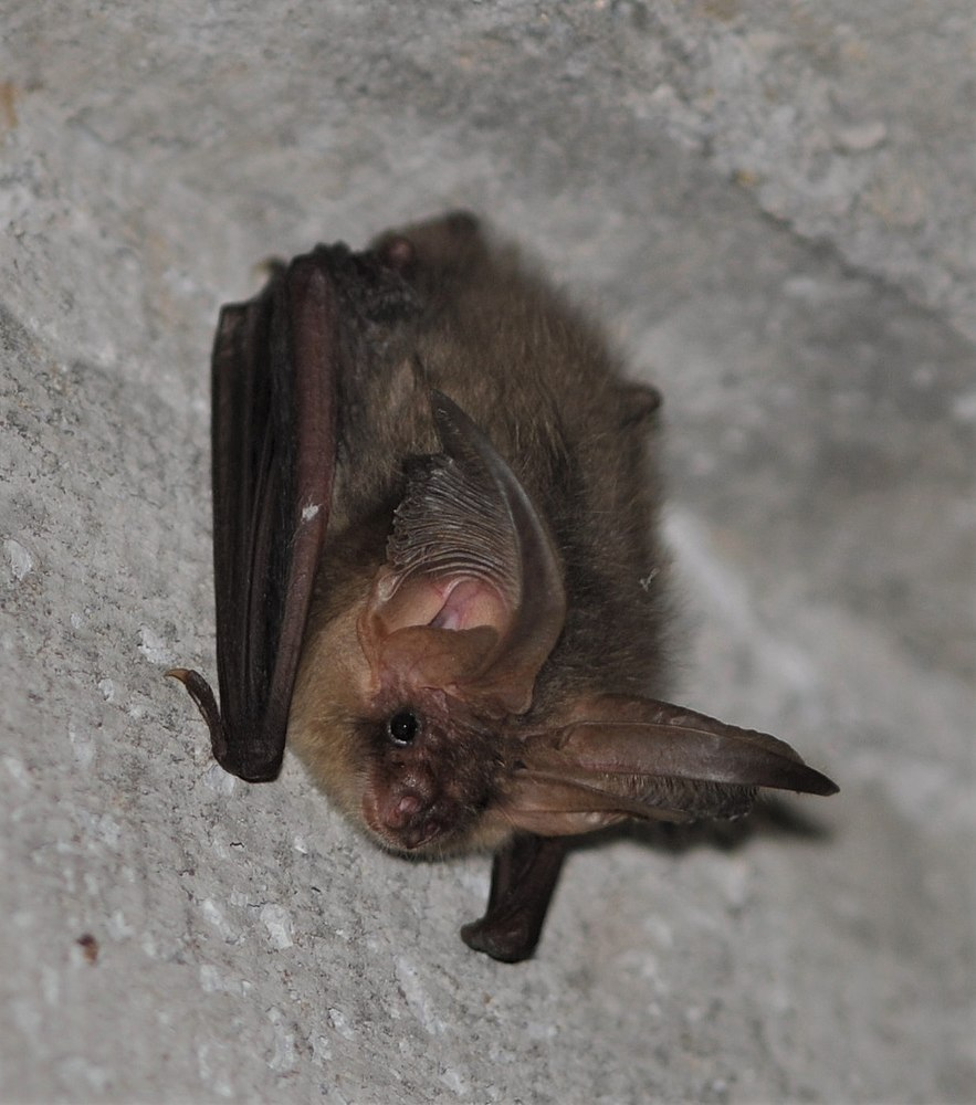 The average litter size of a Brown long-eared bat is 1