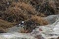 Plectrophenax nivalis 07(js), Longyearbyen.jpg