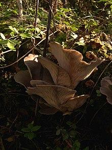 Esemplari adulti di ostreatus