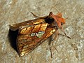 Plusia putnami - Lempke's gold spot (39299584710).jpg