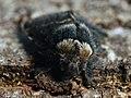 Poecilocampa populi ♂ - December moth (male) - Коконопряд тополёвый (самец) (40298903864).jpg