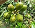 Polyalthia longifolia fruits - at Beechanahalli 2014 (3).jpg