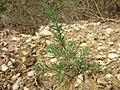 Polycnemum majus sl12.jpg