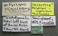 Polyergus nigerrimus casent0173340 label 1.jpg