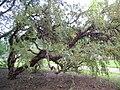 Polylepis australis at Dundee Botanic Garden 5.jpg