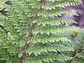 Polystichum setiferum proliferum plumosum0.jpg