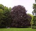 Pomnikowy buk w Parku Skaryszewskim 5.jpg