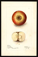 Pomological Watercolor POM00001837.jpg