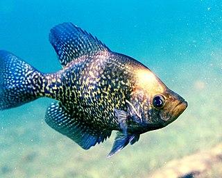 Black crappie species of fish