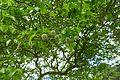 Poncirus trifoliata-Parc du Grand Blottereau (2).jpg