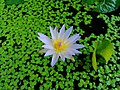 Pond Flower.jpg