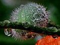 Poppies, unopened bud in the rain.jpg