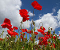 Poppies again 5 (5781808652).jpg