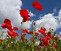 Poppies again 5 (5781808652).jpg