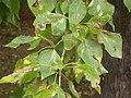 Populus balsamifera (5002312819).jpg