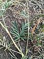 Potentilla multifida ornithopoda1.jpg