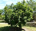 Pouteria campechiana - Fruit and Spice Park - Homestead, Florida - DSC08868.jpg