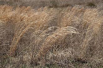 Prairie - Prairie grasses