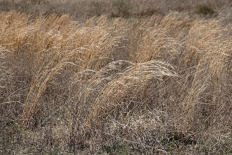 File:Prairie grass.JPG