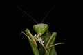 Praying Mantis Sexual Cannibalism European-50.jpg