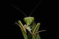 Praying Mantis Sexual Cannibalism European-50.jpg