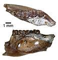 Proapeomys condoni (JODA 1207).jpg