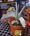 Propeller Plant (Crassula falcata) 1.jpg