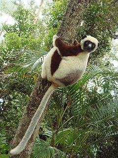 Sifaka genus of mammals