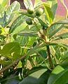 Prunus-laurocerasus.jpg