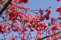 Prunus cerasoides var. canpanulata 05.jpg
