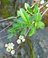 Prunus emarginata 1.jpg