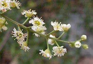 Prunus ilicifolia - Prunus ilicifolia flowers
