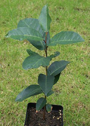 Prunus africana - Image: Prunus sappling
