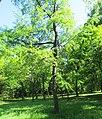 Prunus serotina habitus, Belgrade.jpg