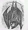Pteropus poliocephalus old.jpg