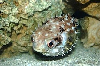 Porcupinefish - Image: Pufferfish (Butete)