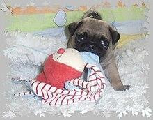 Pug-puppies-mops-welpen-beige.jpg