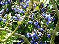 Pulmonaria blue seedling - Flickr - peganum.jpg