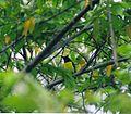 Purple Rumped sunbird at Biligiriranga temple wildlife sanctuary.jpg