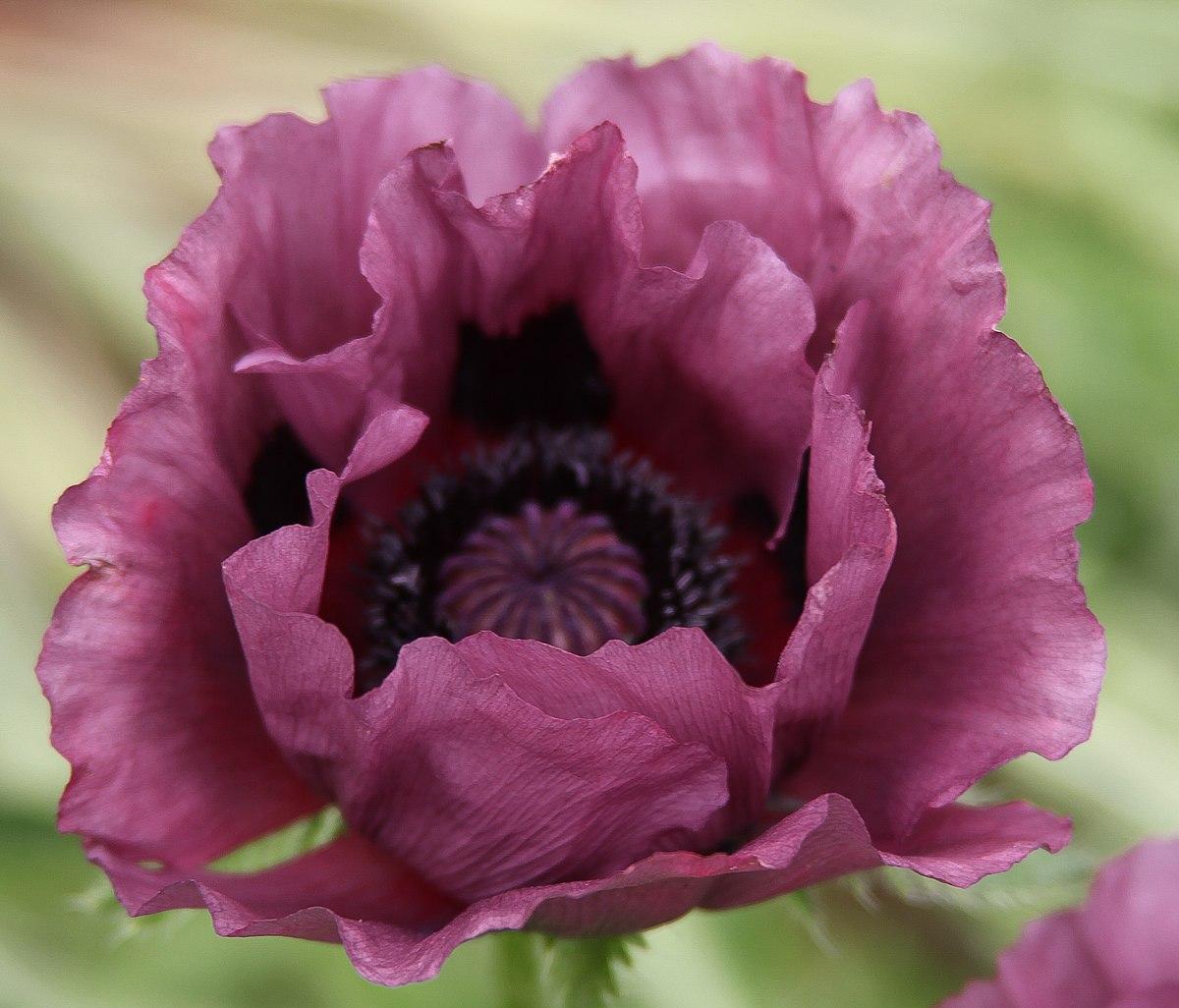 Purple Poppy Wikipedia