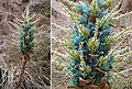 Puya berteroniana (8401486340).jpg