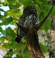 Pygmy owl.JPG