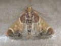 Pyralis farinalis - Meal moth - Огнёвка мучная (39415842460).jpg