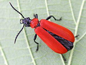 Scharlachroter Feuerkäfer (Pyrochroa coccinea)