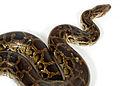 Python molurus bivittatus python molure 13.JPG