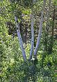 Quaking aspen Populus tremuloides trio.jpg