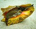 Queen Conch (Lobatus gigas).jpg