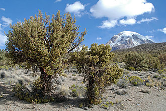 Sajama National Park - Queñoa trees located in Sajama National Park
