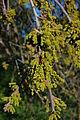 Quercus agrifolia-17.jpg